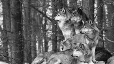 wolf b&w1
